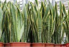 کاشت و تکثیر گیاه تکثیر از طریق قلمهاستفاده از قلمه برگ آسانترین راه تکثیر این گیاه است. به این منظور:یک برگ سالم از گیاه را به قطعات ۱۰-۷ سانتیمتری تقسیم کنید.قلمهها را تا نصف ارتفا...»