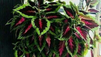 حسن یوسف دائمی است اما اگر در فصول سرد خارج از گلخانه یا آپارتمان باشد از بین می رود.این گل با روش قلمه زدن و کاشت بذر قابل تکثیر است .از نیمه های تابستان تا آخر پاییز ، قلمه های انته...»